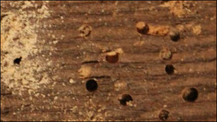 Woodworm in Canterbury